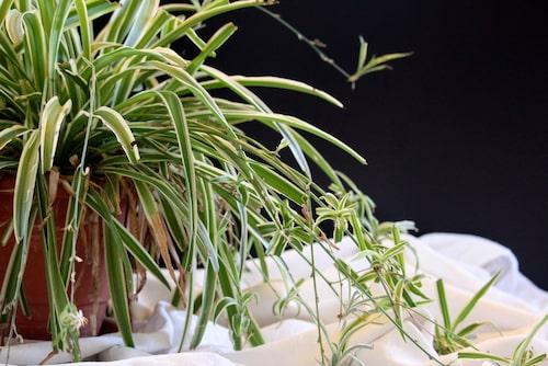 Småplantorna som hänger på de långa revorna kan du klippa av och plantera i nya krukor.