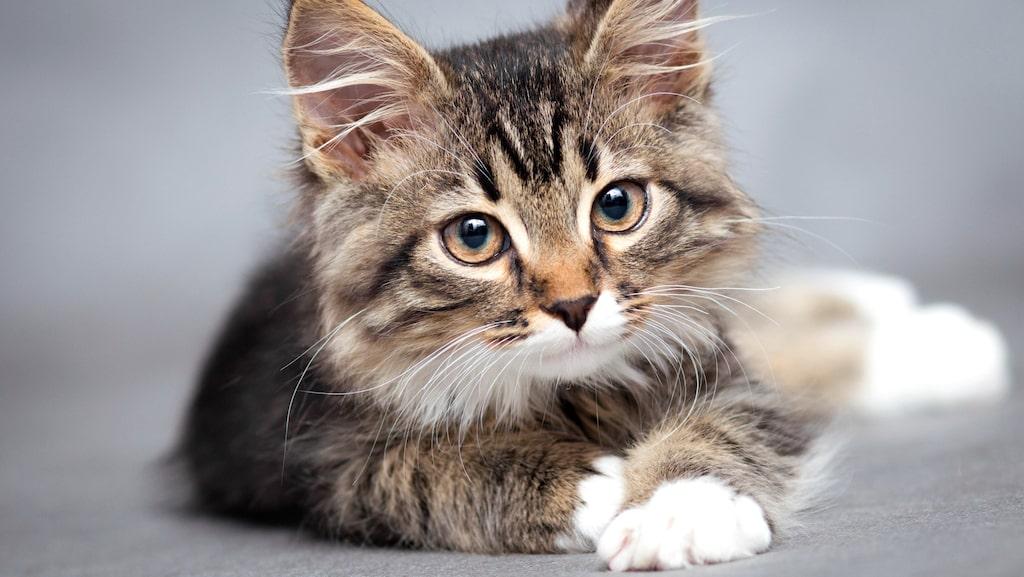Bara i år har katthemmen behövt säga nej till över 1740 katter på grund av platsbrist.