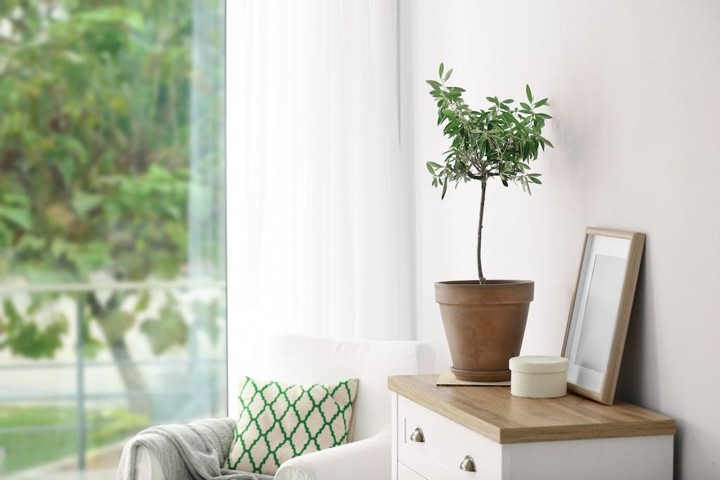 """Det lilla olivträdet i kruka är en stilren och tidlös """"inredningsdetalj"""" som ofta syns i både mäklarannonser och inredningsreportage."""