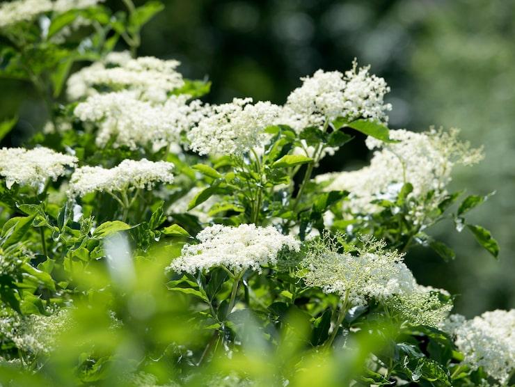 Den äkta fläderblomman har tillplattade blommor som är antingen vita eller svagt gulaktiga.