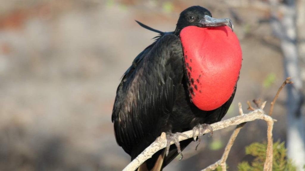 Fregattfågel i parningsdräkt. Isla Seymour Norte.
