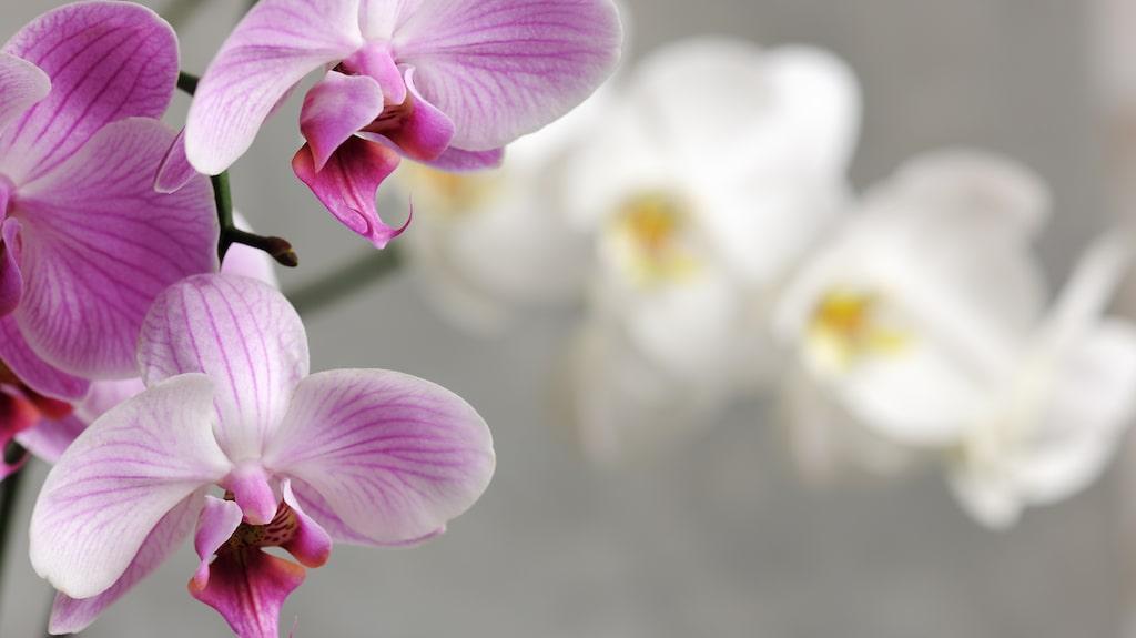 När orkidén tappat sina blommor är det viktigt att vänta med att klippa av blomstängeln tills den torkat ihop helt. Om den fortfarande är grön kan nämligen nya knoppar bildas.