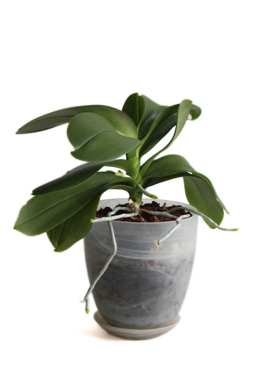 Ungefär så här såg orkidén ut innan hon testade det enkla tricket som fick den att börja blomma direkt.