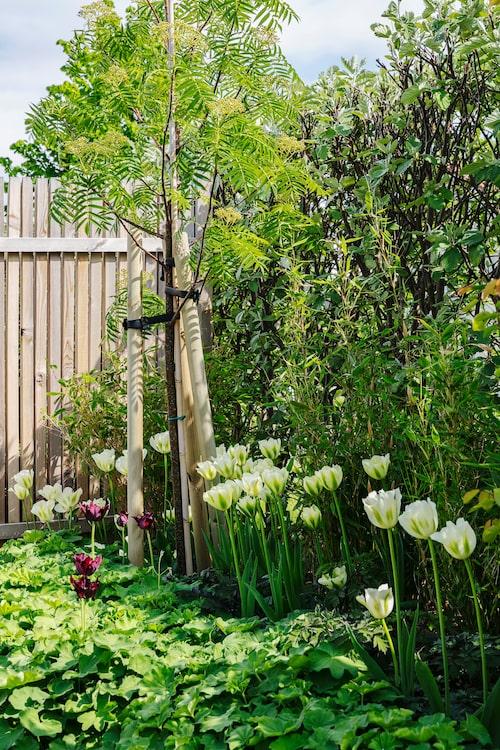 """Eftersom oxelhäcken är både silvrig och ganska otät har Cecilia planterat bambu framför, vilket ger en bättre bakgrund till både tulpanerna och jättedagkåpan. Trädet är en Ullungrönn """"Dodong""""."""