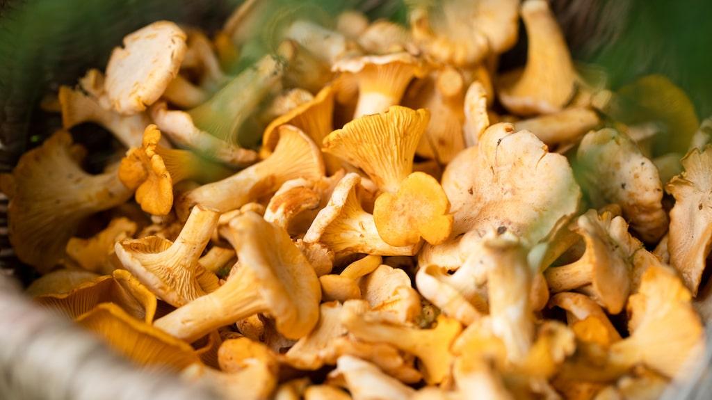 Skogens guld – de gula kantarellerna – är kanske den mest älskade matsvampen i Sverige och relativt lätt att känna igen.