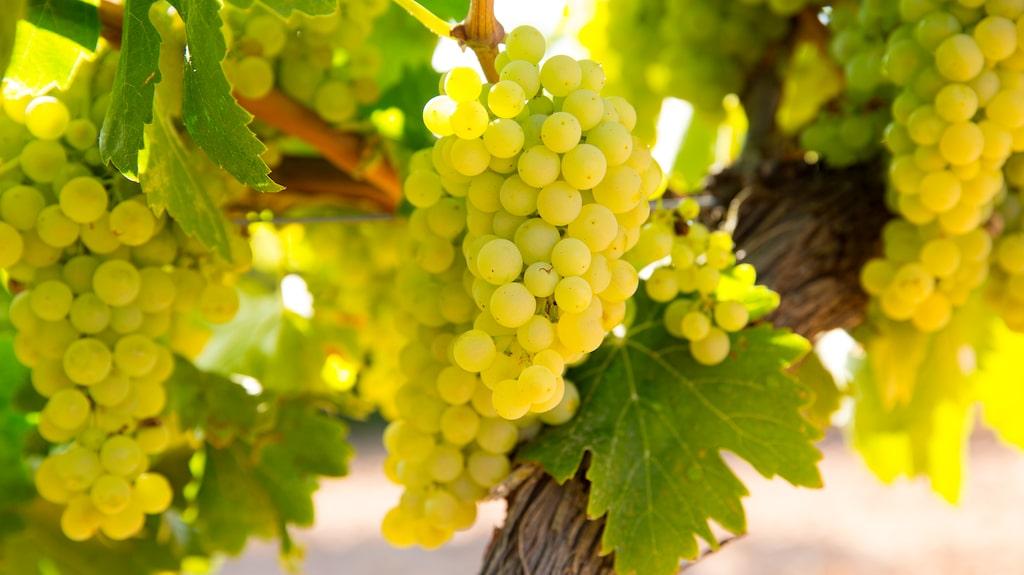 Chardonnay-druvan är en gigant i bubbelvärlden.