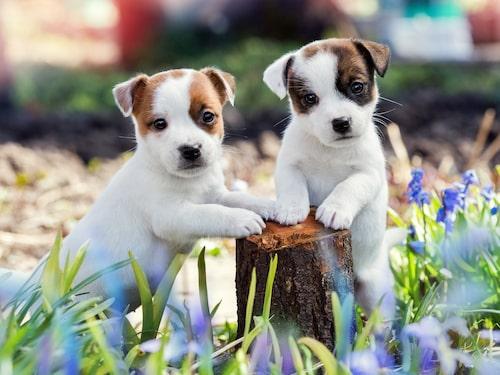 Två bedårande jack russell terrier-valpar.