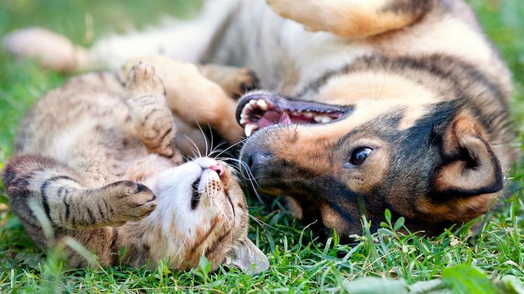 Många katter och hundar älskar att vara ute på sommaren men det är också då risken att få ett huggormsbett är som störst.