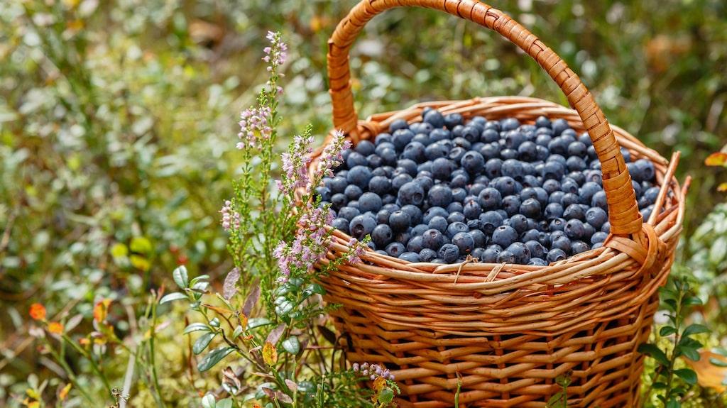 Nu är det blåbärsdags i flera delar av Sverige. Och det kommer det fortsätta vara en bra tid framöver. I slutet av juli finns de garanterat överallt i landet.