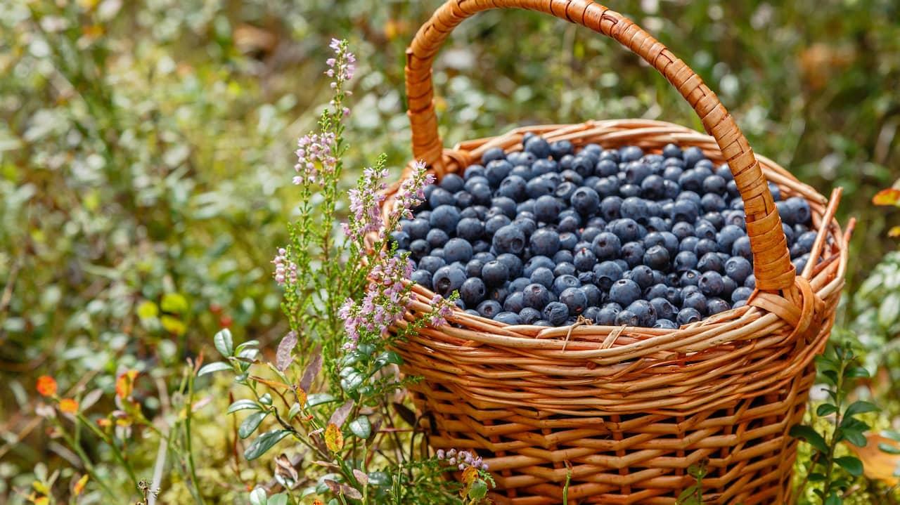 blåbär vid diarre