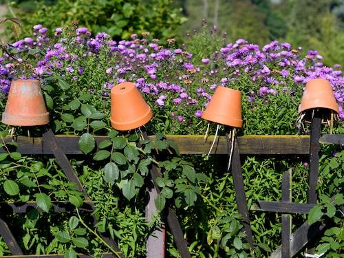 Med uppochnedvända blomkrukor i trädgården kan du locka tvestjärtar. Här kan de gömma sig på dagen för att sedan krypa fram på natten och dammsuga dina växter på löss.