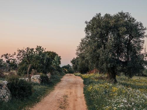 Tusenåriga olivträd i Salento.