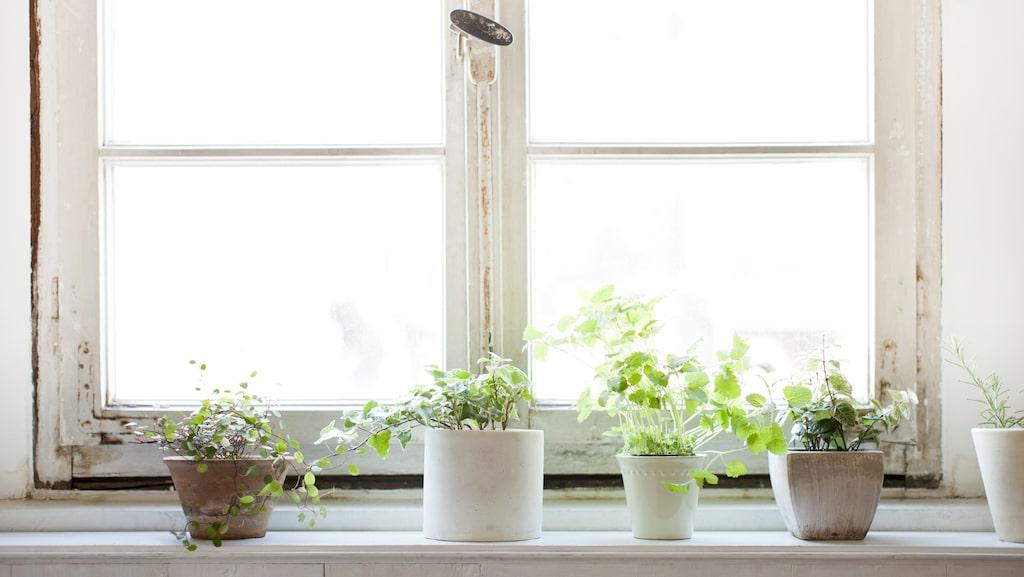 Vissa blommor är mer känsliga mot låg luftfuktighet än andra. Murgrönan hör till de mer känsliga.