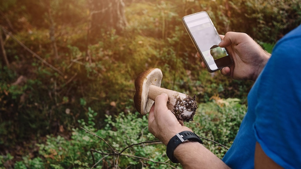 Med en svamp-app i telefonen kan du enkelt få hundratals arter beskrivna och illustrerade mitt i svampskogen.