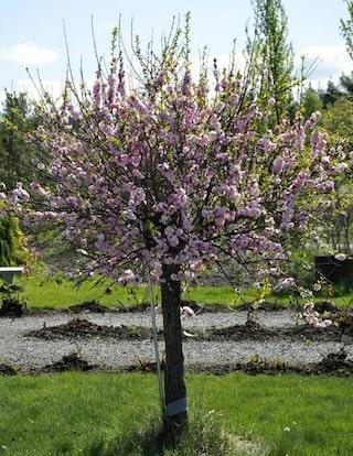 fina träd till trädgården
