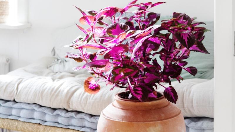 Palettblad blir en fin inredningsdetalj med sina starka färger - tänk bara på att den behöver mycket ljus.