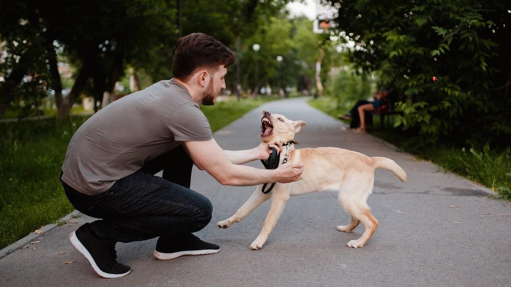 När hunden skäller måste du genast visa vem som bestämmer