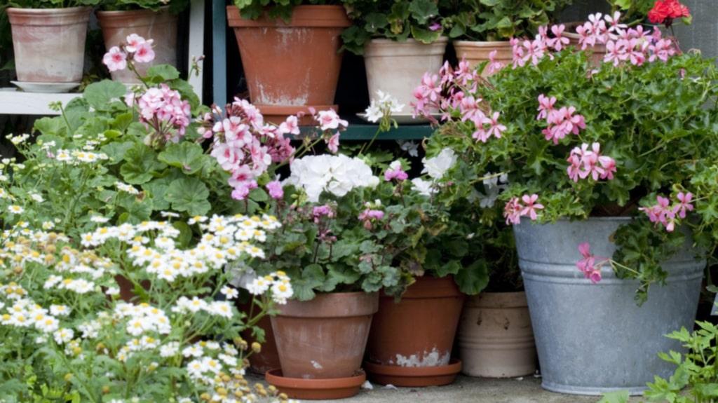 Årets pelargon har presenterats på Nordiska trädgårdar, Nordens största trädgårdsmässa som nu slagit upp dörrarna på Stockholmsmässan.
