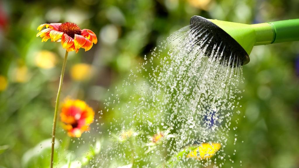 Börja samla regnvatten tidigt på säsongen. Ställ fram alla tunnor och hinkar som håller tätt så kan du använda det att vattna med.