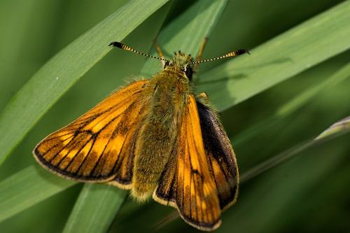 Ängssmygare (Ochlodes sylvanus).