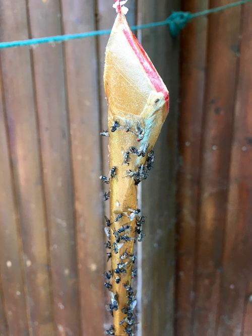 Den klassiska klisterremsan som flugorna fastnar på kan man hänga både utomhus och inomhus.