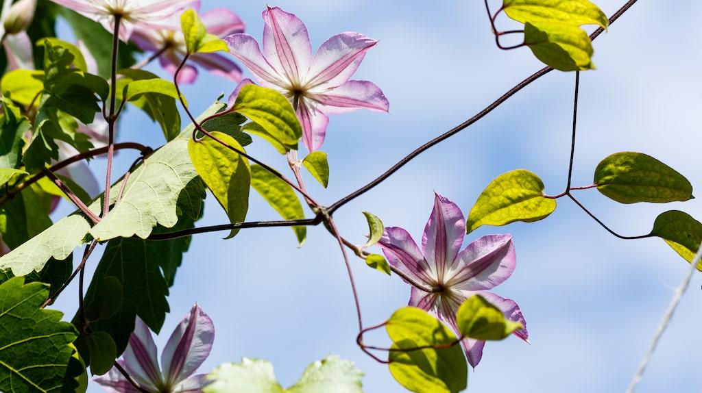 Klematis är en favorit hos många trädgårdsägare.