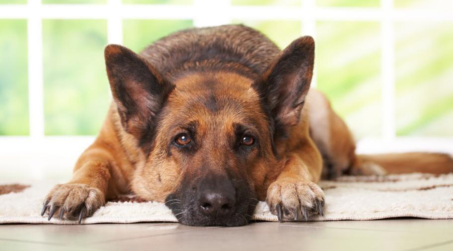 Långtråkigt. Att låta hunden vara hemma själv är ingen bra lösning.