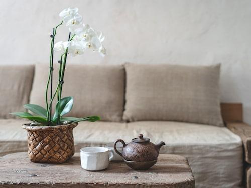 Orkidén trivs att stå ljust, men inte i direkt solljus.