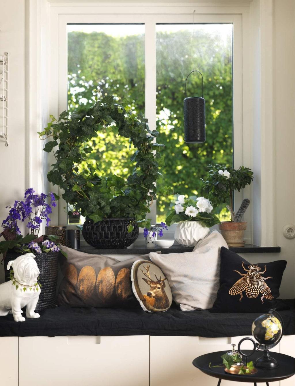 Fönsterfint. På fönsterbrädan passar en bågformad murgröna eller en högväxt kornettblomma.