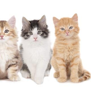 hur länge är katter gravida