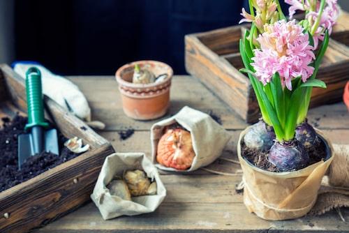 Gamla hyacintlökar kan planteras i trädgården eller i krukor på balkongen under våren.