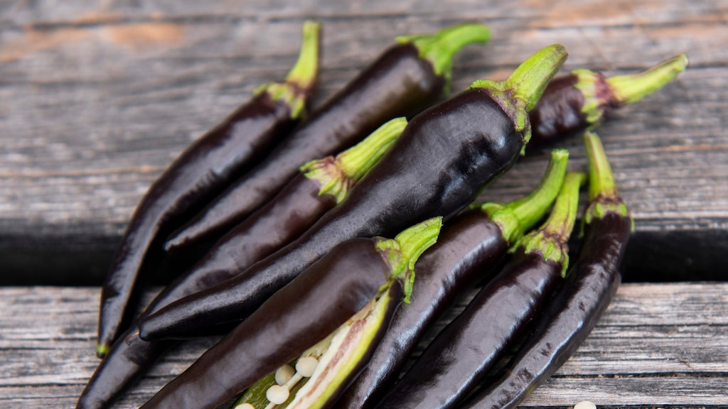 """""""Black Fangs"""" har heta frön. Chilin skördas i juli – oktober beroende på hur tidigt man sått den. Nyhet hos Impecta."""