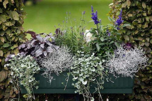 Hängande silvernjurvinda, mörklila alunrot, spretig silvergirland, småblommig lavendel och färgstark salvia.