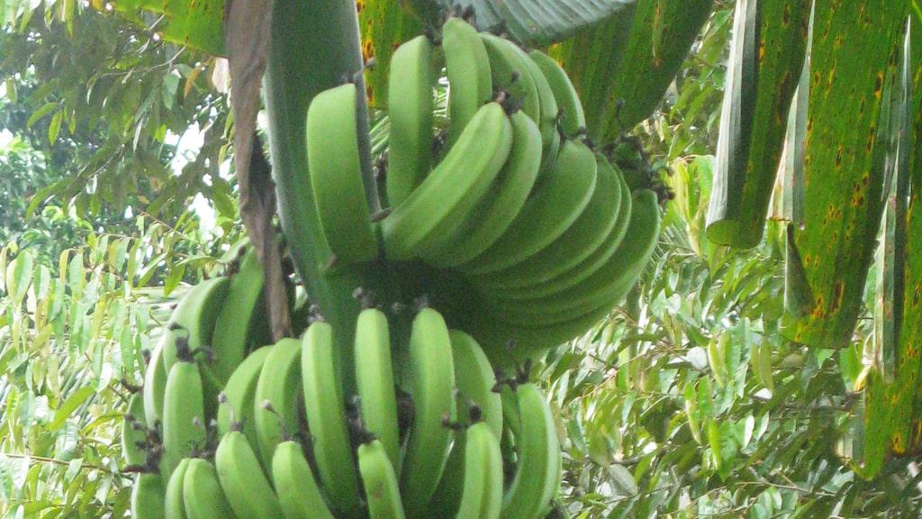 Vid stigen växer vilda bananer.