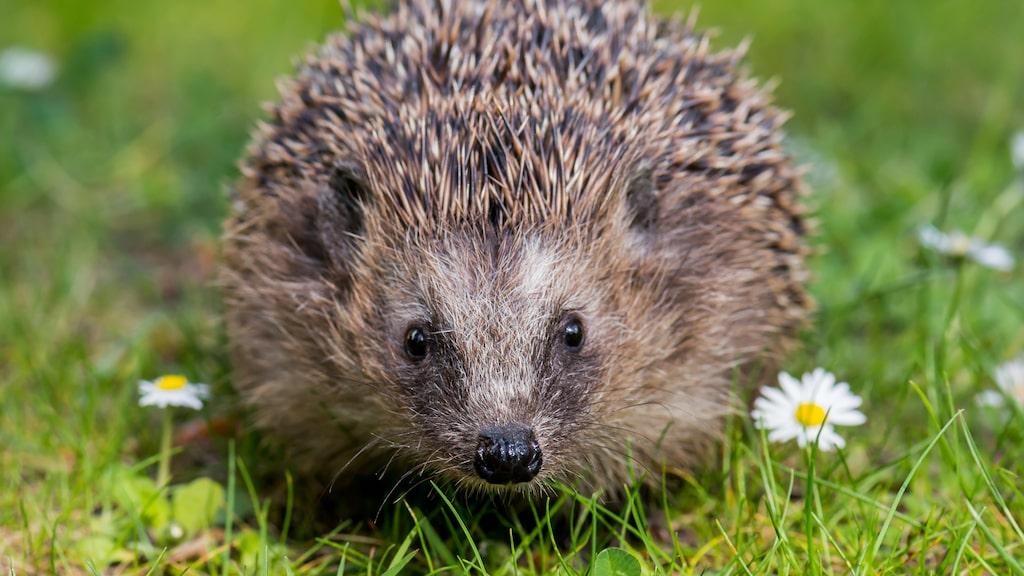 Allt fler igelkottar skalperas, förlorar ett ben eller dör i våra trädgårdar.