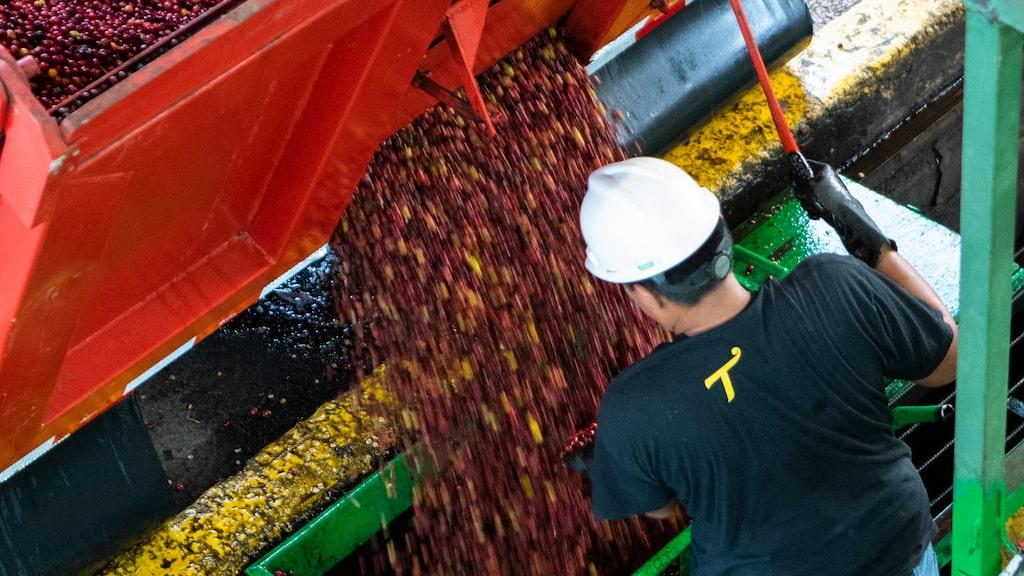 José Antonio Vega på kaffekooperativet Coopro Naranjo tar hand om första lasten av de röda kaffebären, vars färg markerar högsta kvalitén. Här jobbar man bara med ekologisk kaffeproduktion.