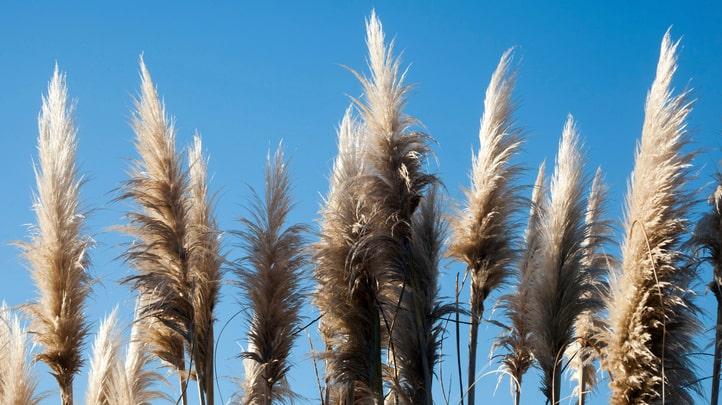 Senaste tiden har pampasgräs verkligen trendat. Många föredrar att torka det och använda som inredningsdetalj.