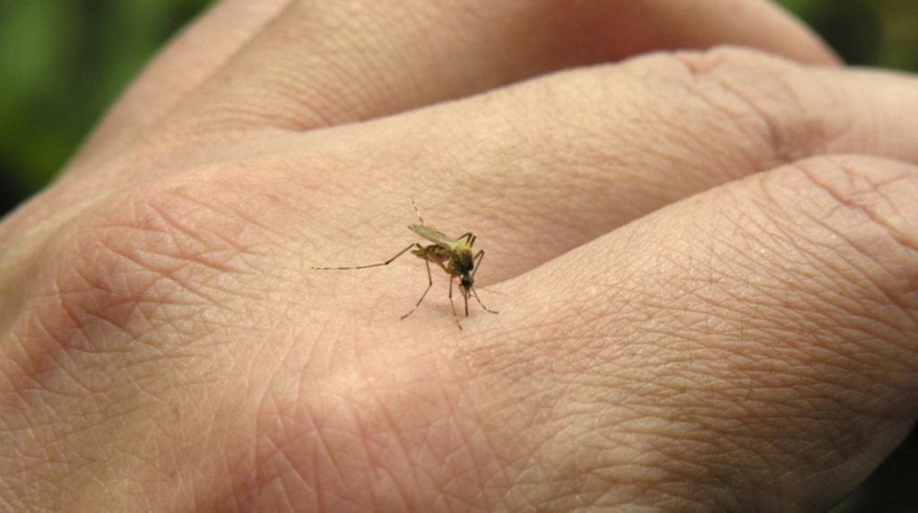 Att kunna byta myggornas kön kan vara ett sätt att hindra zikaviruset enligt forskare.