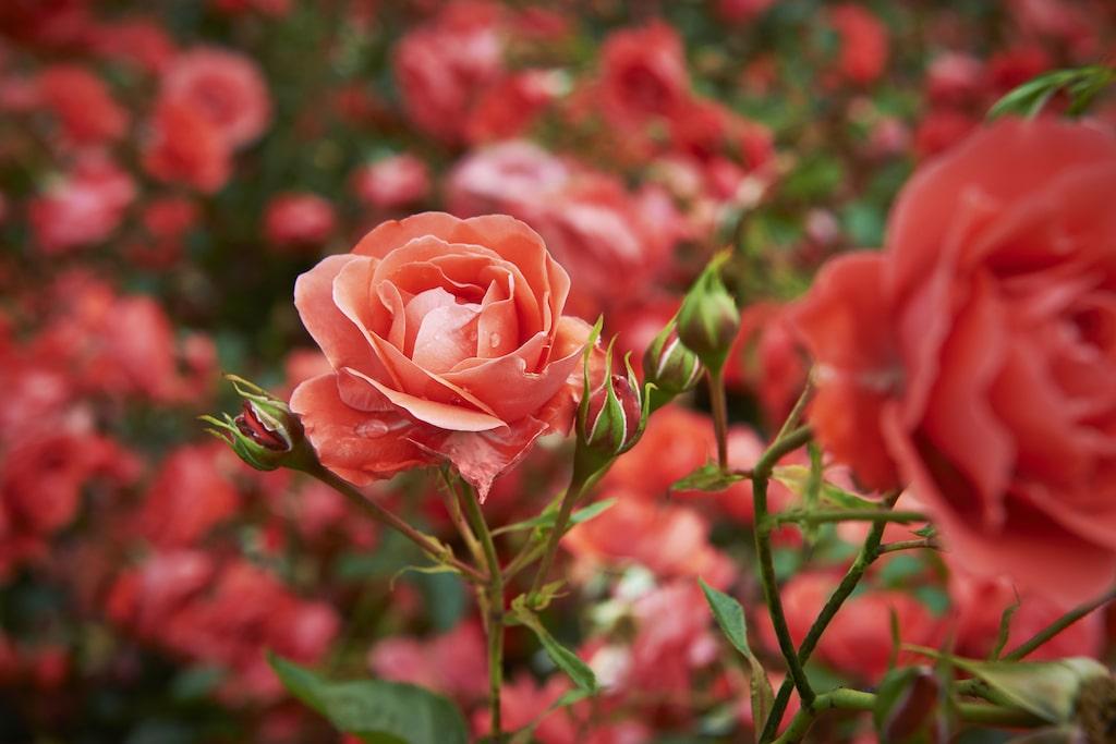Finns det något vackrare än välblommande och friska rosor i trädgården? Och ännu vackrare kan du lär dig att samodla.