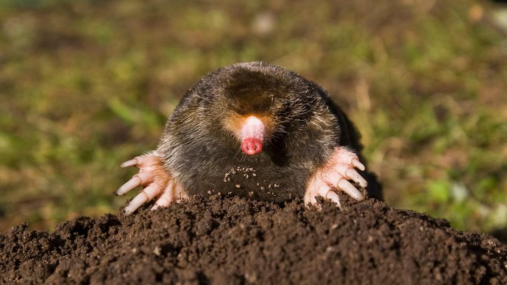 Tack vare att mullvadar är så snabba kan de gräva en tunnel på fyra meter på bara en timme och skapa komplexa underjordiska gångar.