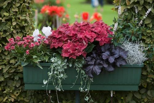 Taranta med mörkrosa blommor och matchande hortensia, vit cyklamen, silvernjurvinda, alunrot, silvergirland och vitlysing med små spiror.