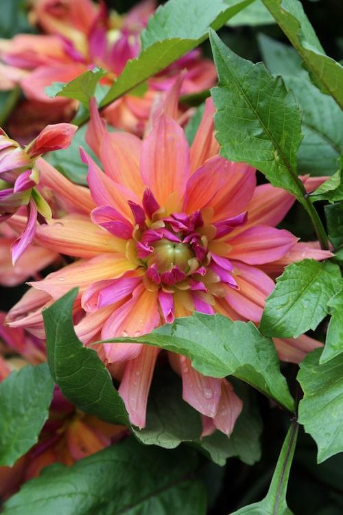"""""""Pashmina"""" får gigantiska, tunga blommor som är cirka 22 centimeter i diameter. Blombladen skiftar i cerisrosa och orange. Som tur är sitter blommorna inte i toppen utan en liten bit ner så de kan vila sina tunga blommor mot bladverket. Plantan är runt 110 centimeter hög."""