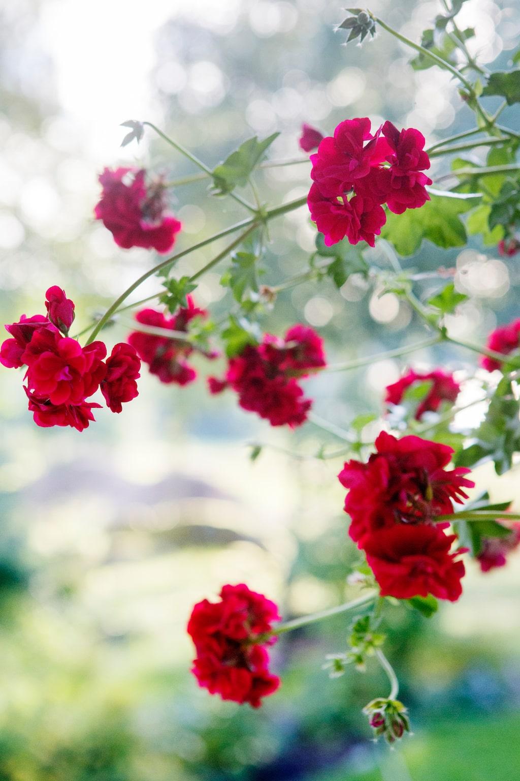 Pelargoner i alla dess former och färger fungerar finfint att ha i buketter och de står sig bra i vas. De blommar oftast rikligt långt in på hösten och tål några mindre frostknäppar.