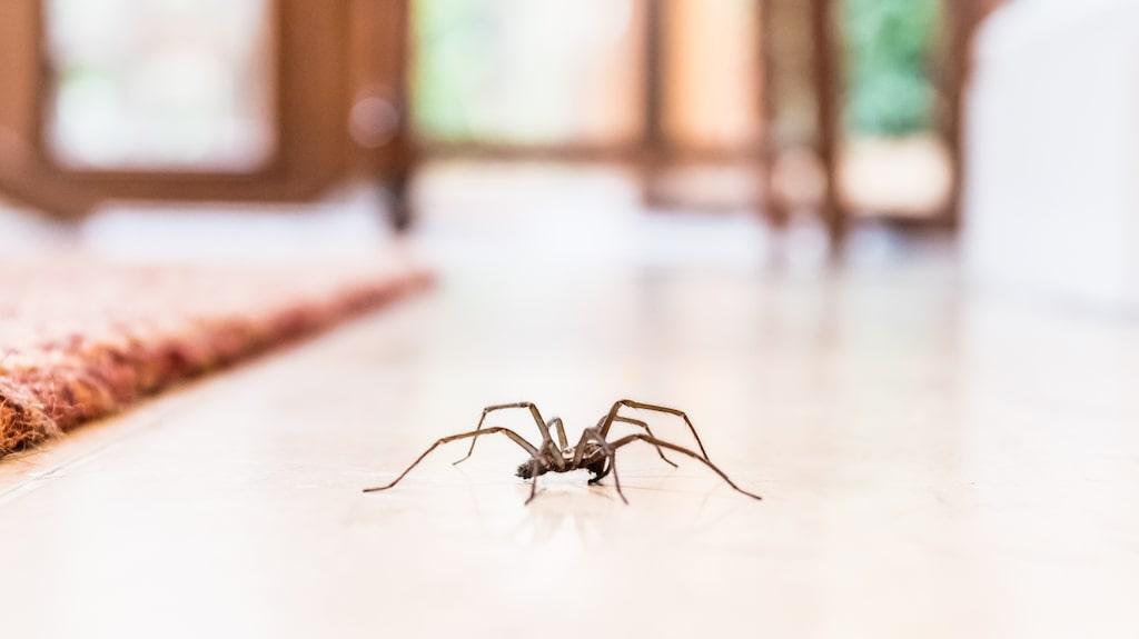 Att se en mörk spindel komma krypande mot dig inomhus är för många en riktig mardröm.