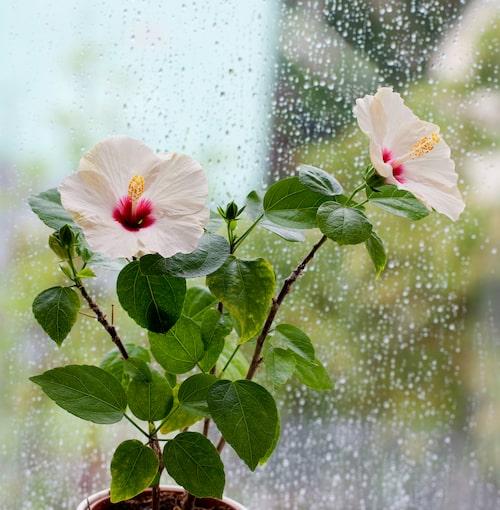 Hibiskus frodas vid ett soligt fönster.