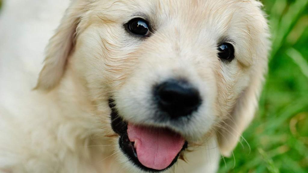 Drar det på smilbanden när du tittar in i en hunds ögon? Nu är det till och med vetenskapligt bevisat att detta gör oss lyckliga.