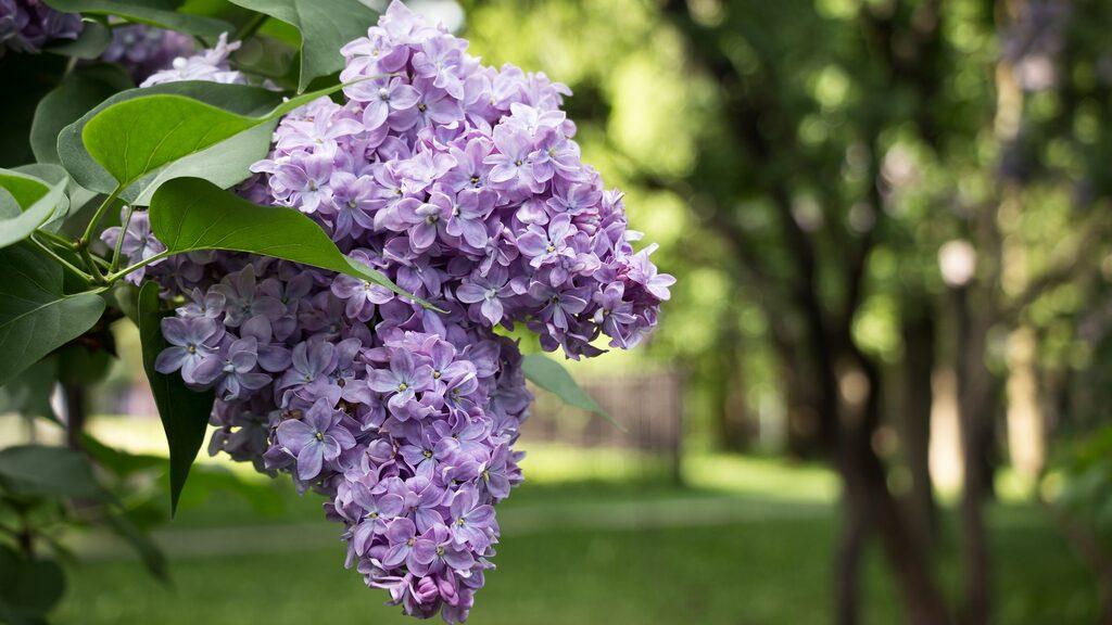 Nedan listar vi flera populära växter som riskerar att slå ut den naturliga floran och vad man kan göra för att undvika oönskad spridning. Svenskarnas favorit, syren, är en av dem.