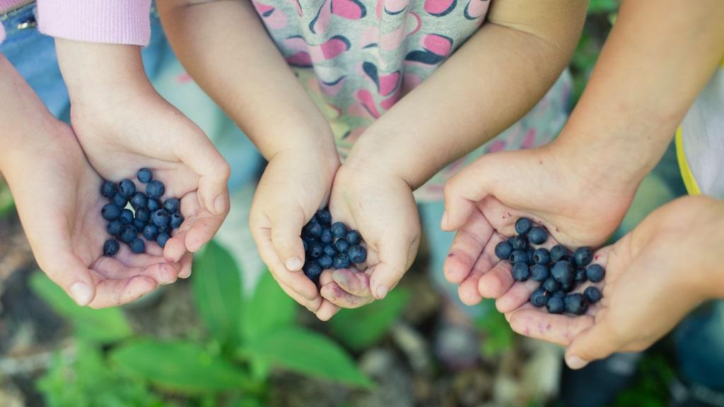 ... och färska blåbär är bra mot förstoppning, liksom torkade blåbär lindrar diarré. Här nedan kan du läsa bästa plocktipsen samt hur du rensar dem supersnabbt.