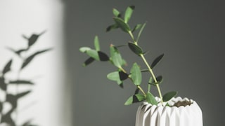Eukalyptus – nya trendblomman. Sköt den rätt. | Leva & bo