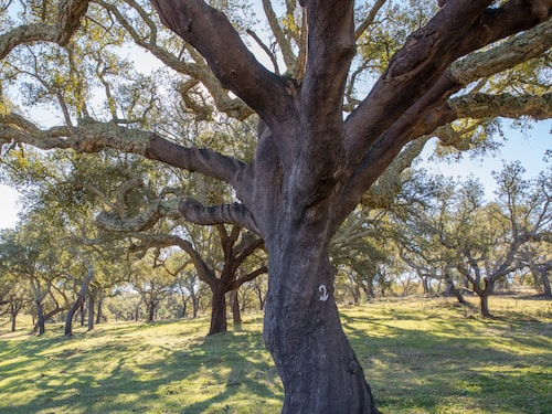 735 000. Så många hektar täcks av Portugals historiska korkskogar. Detta motsvarar dubbla Gotlands yta plus Öland